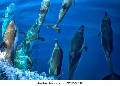 Group of many wild free dolphins under the surface