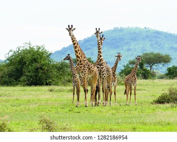 "group of Masai Giraffe (Giraffa camelopardalis tippelskirchi or ""Twiga"" in Swaheli) image taken on Safari located in the Serengeti National park,Tanzania"