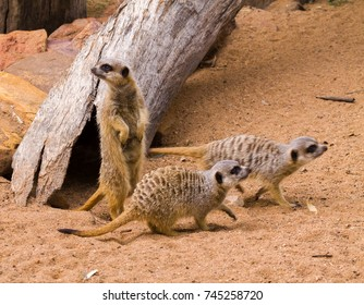 A group of meerkats with one on lookout