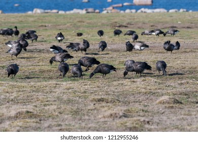 Group with migrating Brent Geese, Branta Bernicla, by the coast at the swedish island Oland