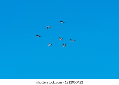 Group with migrating Common Cranes by a blue and cloudless sky