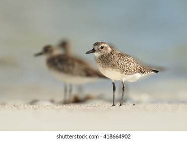 Group of migrating waders, Grey Plovers, Pluvialis squatarola on white beach of Zanzibar island standing in shallow, warm water against blurred blue ocean in background.Tanzania, Africa.