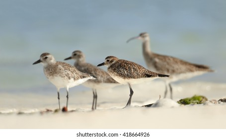 Group of migrating waders, Grey Plovers, Pluvialis squatarola, wintering on white beach of Zanzibar island standing in shallow, warm water against blurred blue ocean in background. Tanzania, Africa.