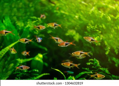 The group of minnow fish are living in the nature with the green weed as the nice background in the natural light.