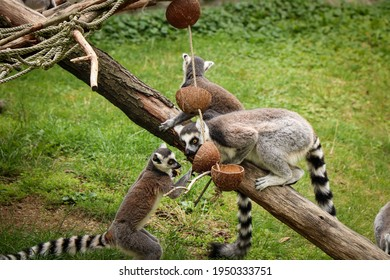 group of monkey bachelors are arguing and fighting for the best piece of food. Ring-tailed lemur fighting for power. Funny monkeys play on wooden sticks and jump on each other. Lemur catta.