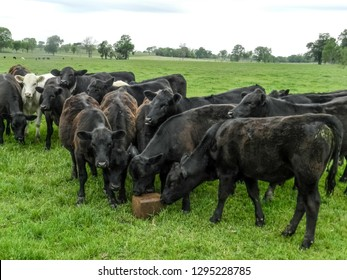 A group of mostly Angus young beef cattle gathered around a pressed block supplement in a ryegrass pasture.