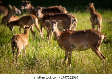 group mouflons in nature park
