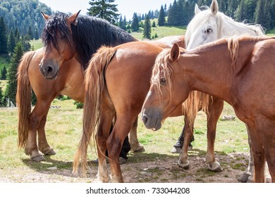 Group of mountain brown horses watching and waiting