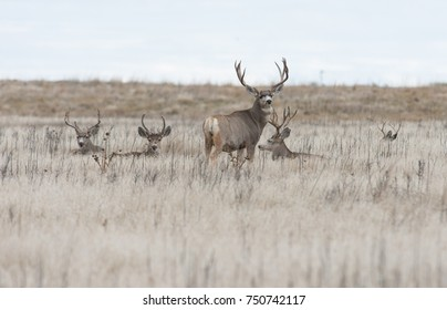 A group of mule deer buck rest in the open field, Rocky Mountain Arsenal Wildlife Refuge.