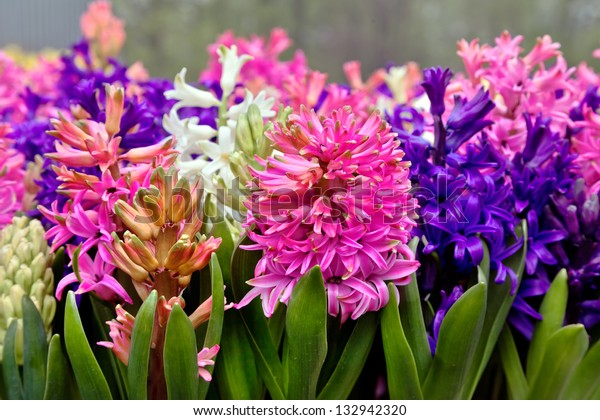 Group multicolored hyacinths. Spring landscape.