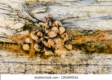 A group of mushrooms growing from a crack in an aged wooden wall surrounded by orange sprouts.