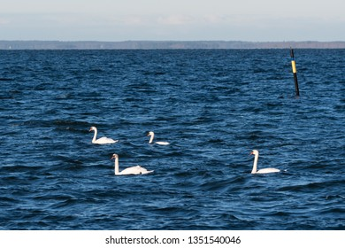 Group with Mute Swans, Cygnus Olor, swimming in blue water by a sea mark in the Baltic Sea