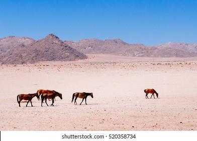 Group of Namib desert wild horses, Aus, Namibia