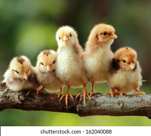 Group of new born chicks on a tree branch