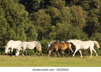 A group of New Forest ponies moving through an open area and grazing