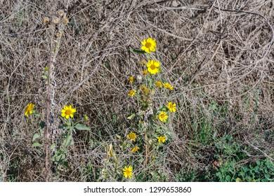 Group of new yellow chrysanthemums coronarium at dry grass