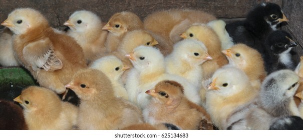 group of newly hatched domestic chicks