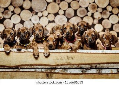 Group of nine 9 rhodesian ridgeback puppies dogs sitting in raw in wood box on wooden background of dry chopped firewood logs stacked up on top of each other in a pile