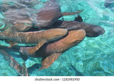A group of nurse sharks near the surface of the water