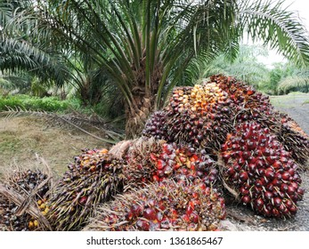 A group of oil palm fruits on nature background, Fresh palm oil from palm garden, plant.