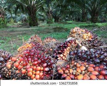 A group of oil palm fruits on nature background, Fresh palm oil from palm garden, plant