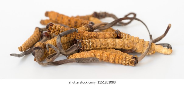 group of Ophiocordyceps sinensis or mushroom cordyceps this is a herbs on isolated background. Medicinal properties in the treatment of diseases. National organic medicine.