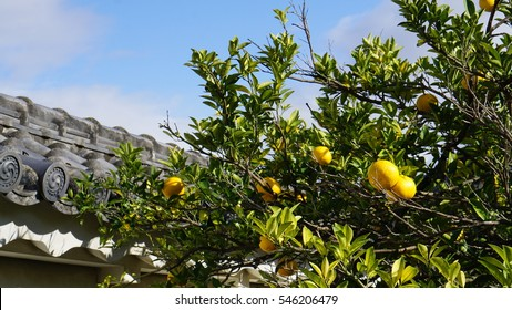 The group of orange fruits hanging on their leaves and tree. They have yellow color and the leaves are green and yellow. Contrast with the clear blue sky. Beside to the the roof of the Japanese castle