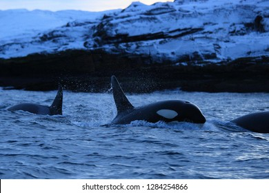 group of orcas or killer whales, Orcinus orca, swimming near the coast off Skjervoy, Norway, Atlantic Ocean