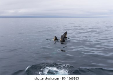 Group of orcas playing at sea of Okhotsk in Japan at Shiretoko national park, Rausu village