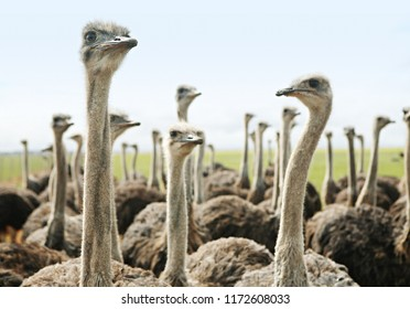 Group of ostriches, closeup