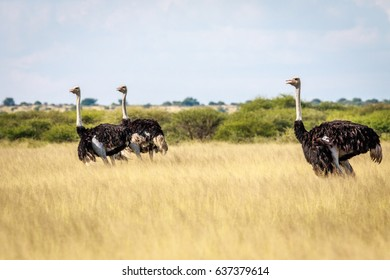 Group of Ostriches in the high grass in the Central Kalahari Game Reserve, Botswana.
