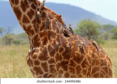 A group of oxpeckers (Buphagus africanus) cleaning a giraffe of lice