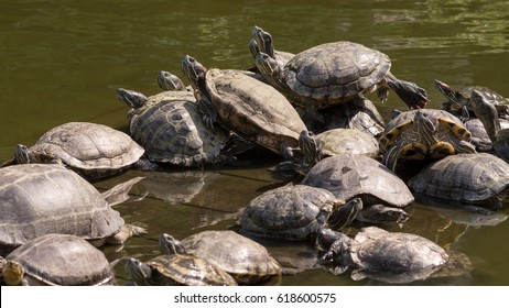 Group of painted turtle sitting on a mossy rock in a small pond, Bangkok, Thailand