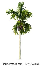 Group of  Palm trees Isolated on white background, Suitable for use in architectural design, Decoration work.