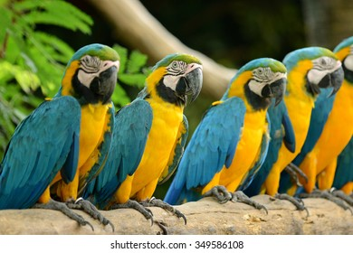 Group of Parrot Yellow and blue feather
