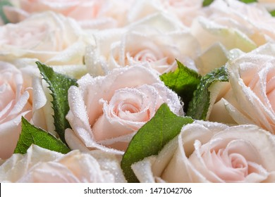 A group of peach roses with water drops, holiday background, mothers day