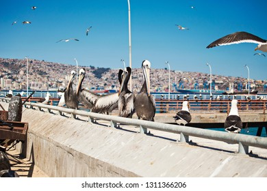 Group of pelicans with big beaks  waiting for fish on the fish market in Valparaiso, Chile