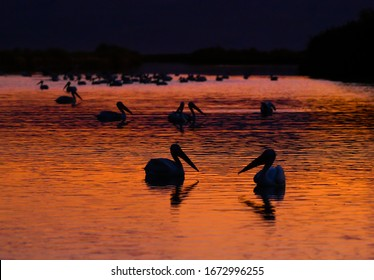 A group of pelicans on a lake during sunset