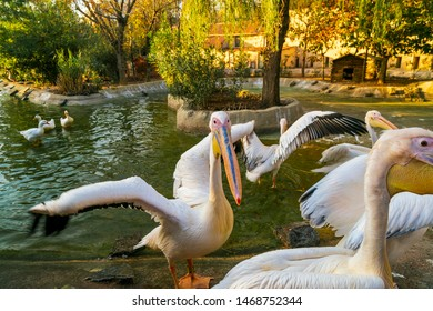 A group of pelicans on water feeding with fish. The great white pelican (Pelecanus Onocrotalus) also known as the eastern white pelican, rosy pelican or white pelican, is a large water bird in the fam