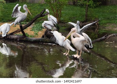 A group of pelicans on water. White pelican and rosy pelican  on branches in the lake.