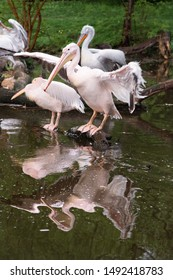 A group of pelicans on water. White pelican and rosy pelican  on branches in the lake.Reflection in water.