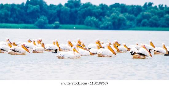 Group of pelicans taking flight. Wild flock of common great pelicans taking flight ( Pelecanus onocrotalus ) . Pelican colony in Danube Delta Romania