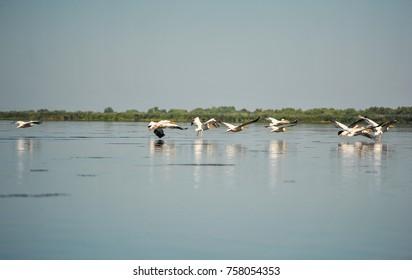 Group of pelicans taking flight.Wild flock of common great pelicans taking flight ( Pelecanus onocrotalus )