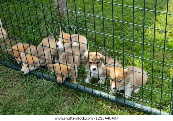 Group Pembroke Corgi Puppies Fenced Kennel Stock Photo (Edit