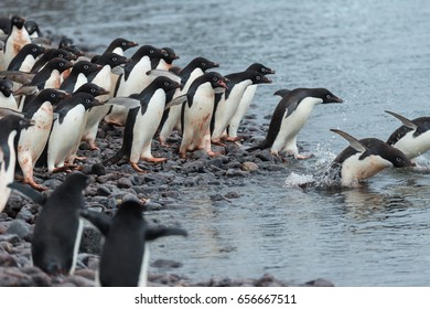 Group of penguins in Antarctica jumping into sea