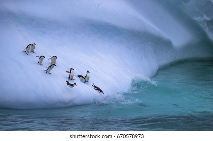 The group of penguins is rolling down the icy slope into the water. Andreev.