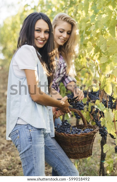 group of people harvesting grapes in a vineyard