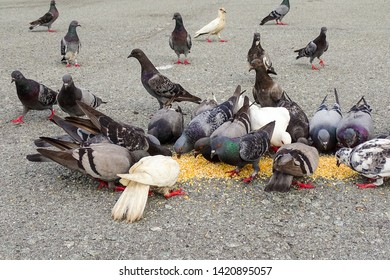 Group of Pigeons eating bird food on a street.Rock Pigeons crowd streets and public squares, living on discarded food and offerings of birdseed.