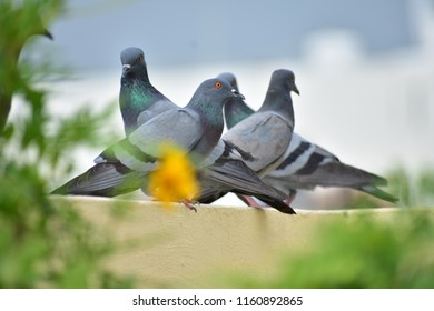 Group of Pigeons on terrace