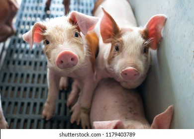 Group of piglets in pig farm.